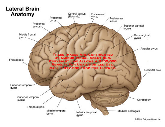 Lateral view of brain with gyri and sulci labeled.