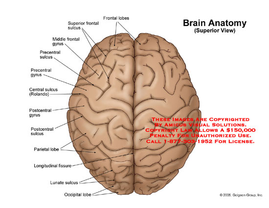Medical diagrams and resources regarding Superior view of brain with lobes, gyri and sulci labeled..