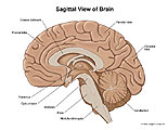 Sagittal view of brain with lobes and general anatomy labeled.