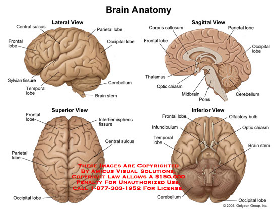 amicus,anatomy,brain,lateral,sagittal,superior,inferior,view,surface,lobe,fissure,hemisphere,corpus,callosum