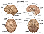 Lateral, sagittal, superior and inferior views of the brain with surface anatomy labeled.