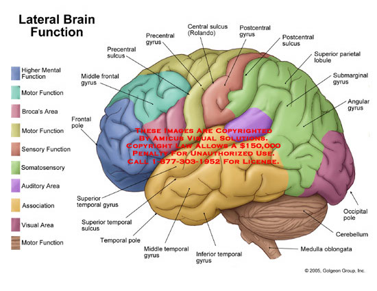 Medical diagrams and resources regarding Lateral view of brain with functional areas labeled..