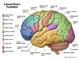 Lateral view of brain with functional areas labeled.