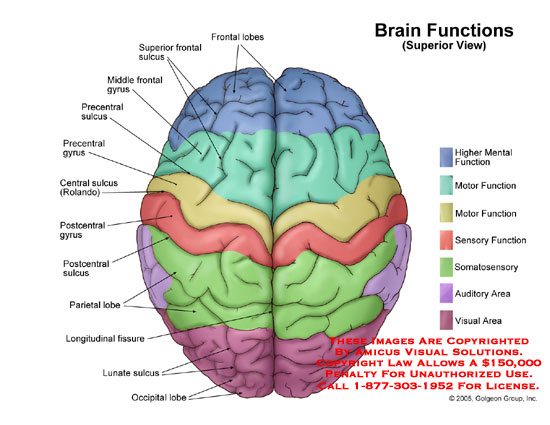 Superior view of brain with functional areas labeled.
