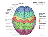 Illustration of amicus,anatomy,function,superior,top,brain,lobe,sulcus,gyrus,rolando,fissure,motor,sensory,visual,area