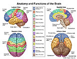 Multiple views of the brain with functional areas labeled.