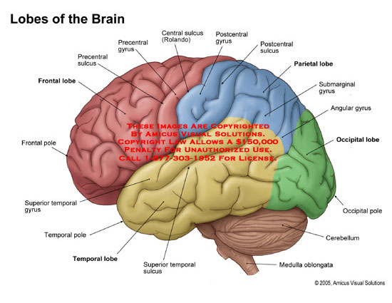 amicus,anatomy,lobe,brain,lateral,frontal,temporal,parietal,occipital,gyrus,sulcus,part,sections,rolando
