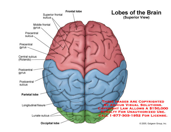 Superior view of the brain with lobes and major gyri and sulci.