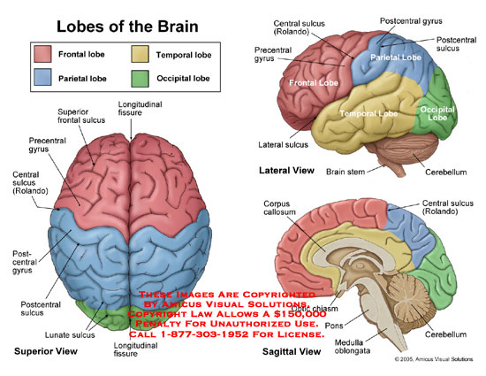 Amicus illustration of amicusanatomylobebrainfrontalparietal superior lateral and sagittal views of the brain ccuart