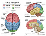 Superior, lateral, and sagittal views of the brain
