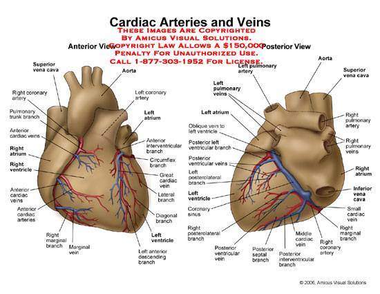 Medical diagrams and resources regarding Anterior and posterior views of heart with vessels labeled..
