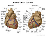 Anterior and posterior views of heart with vessels labeled.
