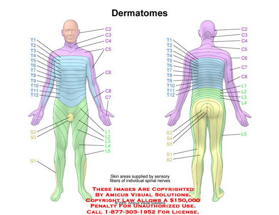 amicus,anatomy,male,dermatome,skin,area,sensory,spinal,nerve,fiber,supply,sensation,innervation