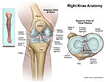 Anterior view of knee joint and superior view of tibial plateau.