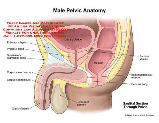 Male Pelvic Anatomy