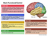 Describes functions of each lobe of brain.
