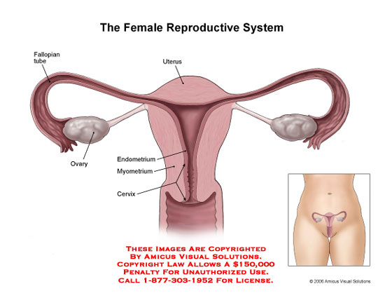 What does the female reproductive system diagram labeled endometrium female reproductive system diagram labeled endometrium ccuart Choice Image