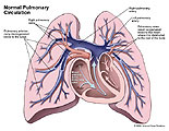 Blood flow through pulmonary arteries and veins.