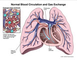Gas exchange in alveoli and blood flow in heart and lungs.