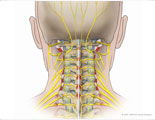 Posterior neck with cervical nerves and ligaments.