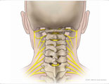 Posterior neck with cervical nerves.