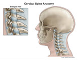 Lateral cervical spine with ligaments.