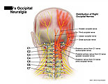 Distribution of right occipital nerves.