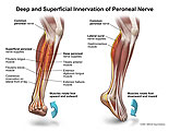 Muscles that control eversion and inversion of foot.