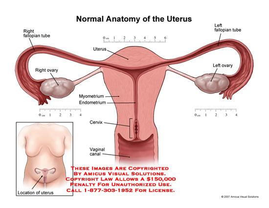 amicus,anatomy,uterus,fallopian,ovary,ovaries,myometrium,endometrium,cervix,vagina,vaginal,size,reproductive