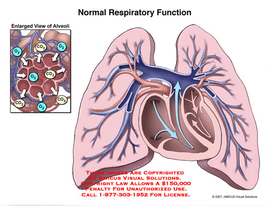 amicus,anatomy,respiratory,function,circulation,gas,exchange,alveolus,alveoli,co2,lung