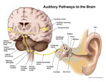 Pathway of signals from ear to auditory receiving center.