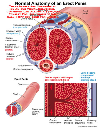 Sectional views through erect penis with engorgement of blood.
