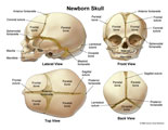Multiple views of an infant skull, showing bones, sutures, and fontanelles.
