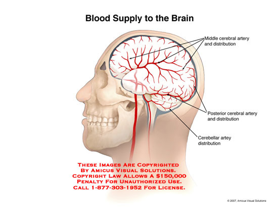 amicus,anatomy,brain,artery,arterial,distribution,middle,posterior,cerebral,cerebellar,area,blood,supply