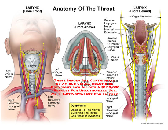 Anatomy of the larynx from the front, top, and back, with innervation.