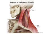 Borders of posterior triangle labeled and spinal accessory nerve shown.