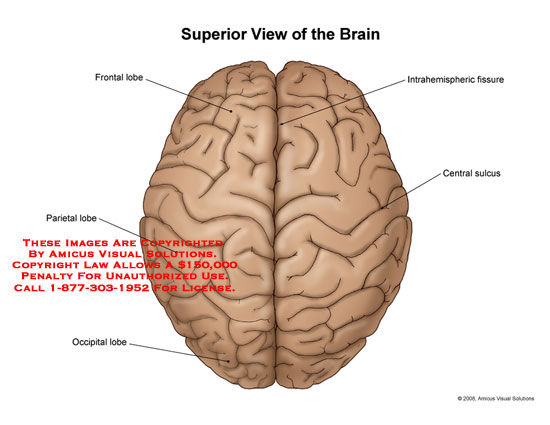 Medical diagrams and resources regarding Top view of brain with lobes and fissures labeled..