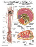 Arteries of right leg, with axial sections through leg and foot showing compartments.