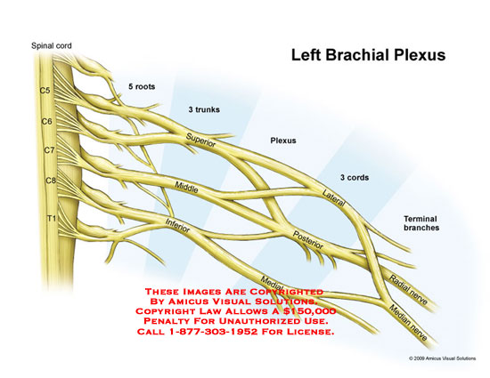 amicus,anatomy,brachial,plexus,roots,trunks,cords,divisions,terminal,branches,nerves,radial,median