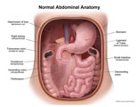 Abdominal cavity opened to expose stomach,duodenum,intestines, and colon.