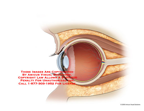 amicus,anatomy,eye,eyeball,section,cross-section,sagittal,view,midline