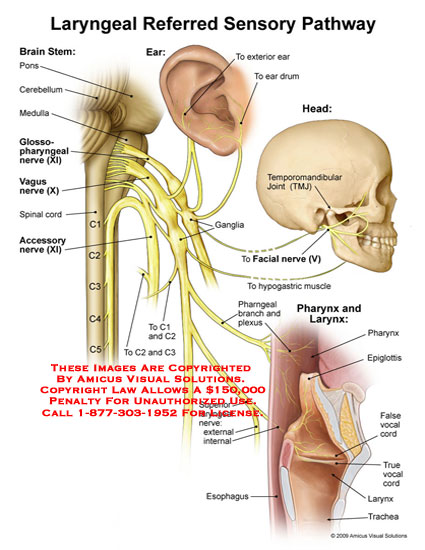amicus,anatomy,laryngeal,referred,sensory,pathway,larynx,pharynx,head,ear,brain,stem,pons,cerebellum,medula,glossopharyngeal,nerve,vagus,spinal,cord,accessory,drum,temporomandibular,joint,ganglia,facial,hypogastric,muscle,pharyngeal,branch,plexus,epiglottis,false,vocal,cord,trachea,esophagus