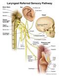 Nerves that connect the larynx to brain stem to ear and jaw.