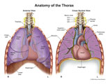 View of lungs and diaphragm showing cervical phrenic nerves innervating diaphragm.