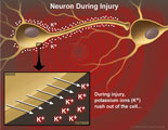 Potassium ions rush out of neuron cell body.