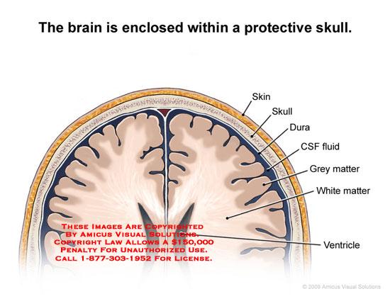 brain tissue layers -#main