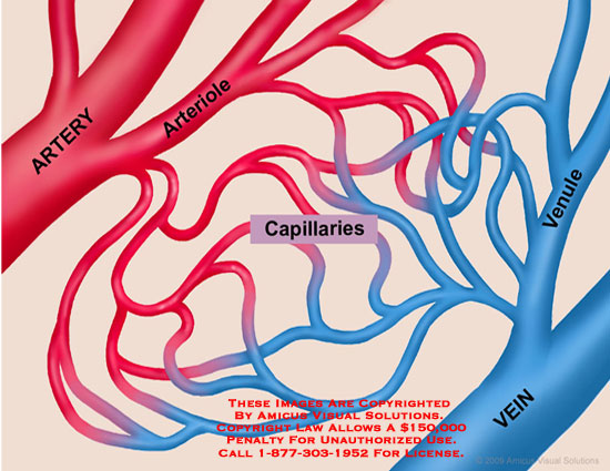 Shows connection between arterial and venous blood via capillaries.