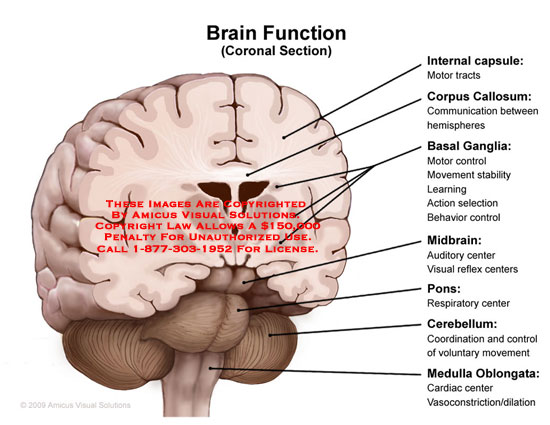 amicus illustration of amicus,anatomy,brain,function,coronal, Cephalic Vein