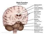 Coronal cut-away through brain revealing functions of basal ganglia and midbrain.