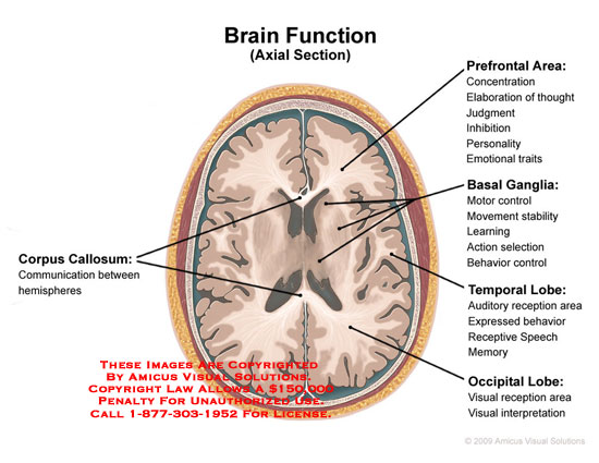 Axial cut-away through brain revealing functions of basal ganglia, corpus callosum, and lobes.